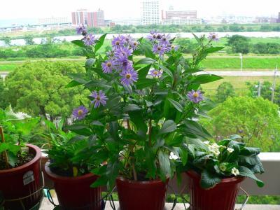 初夏にいち早く咲き出したキク系の花々