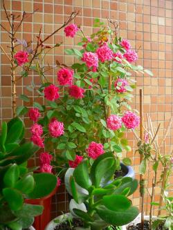 写真キャプション=京都から大阪に持ってきて、多くの花を付けてくれたバラ