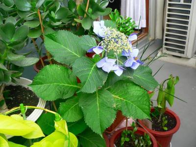 写真キャプション=こちらも今まで咲かなかった「アジサイB」だが、安住の地を得て花を咲かせた