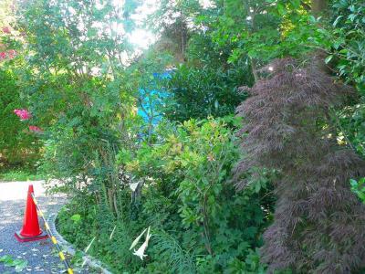写真キャプション=ハート型の葉のツルが巻きついていた百日紅の木
