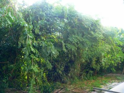 写真キャプション=竹薮に覆いかぶさるようにして増殖を続ける籐ツル