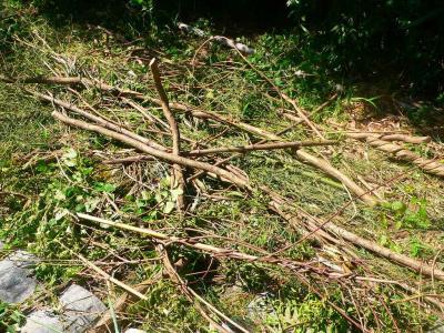 写真キャプション=次々と竹薮の中から切り出される籐のツル