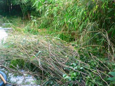 写真キャプション=籐とともに切り出された竹の山