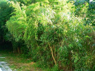 写真キャプション=籐の葉を除去され、夏の太陽を一杯に受けて生き返った竹薮