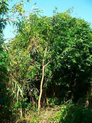 写真キャプション=籐のツルを取り除いてやっと全貌を現した椿の木