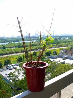 写真キャプション=2ヵ月を経て、ついに新葉を出した淀川の河原から採集してきた木