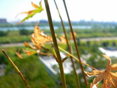写真キャプション=ついに待望の葉を出してくれた青モミジ(小)