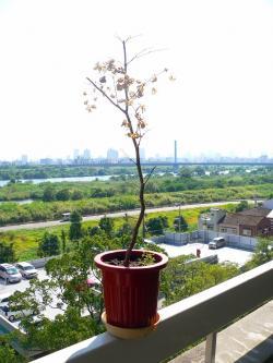 写真キャプション=大阪に着く前に葉を枯らしてしまったモミジ(大)