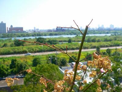写真キャプション=奇跡的に蘇生し、上部の枝の先端に赤い芽を付け始めたモミジ(大)