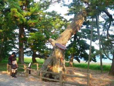 写真キャプション=天橋立の松並木のなかで見事な幹や枝ぶりを見せてくれた数々の老木