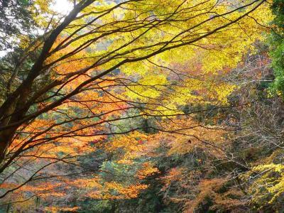 写真キャプション=三重県名張市の「赤目四十八滝」の登り口で目にした木々による紅葉の競演