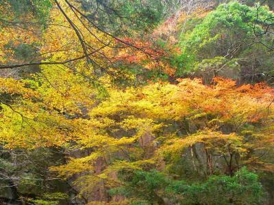 写真キャプション=茂った葉が落ちる前に、最後の生気を振り絞って独特の色合いを放出する