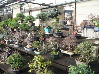 池田市の「浦部養庄園」に並んだ見事な盆栽の作品群