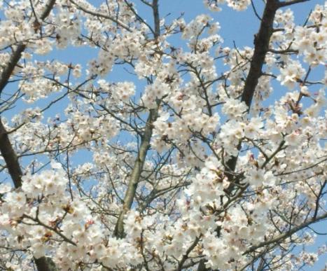 桜(リアル)