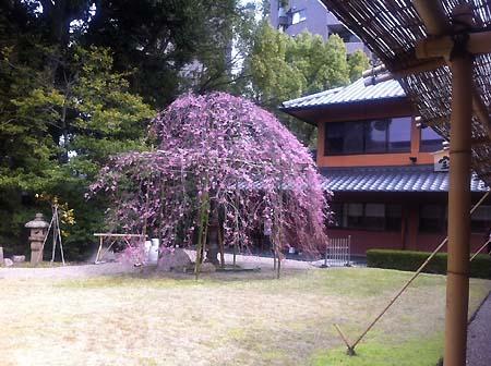 1_sakura.jpg