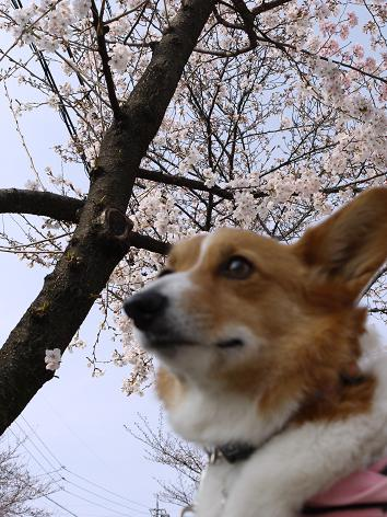 桜とプー4.3