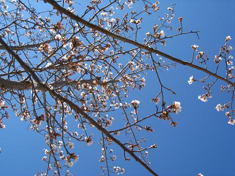 見上げると桜4.5