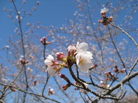 日進の桜4.5