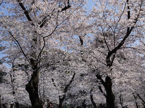 鶴舞の桜4.6