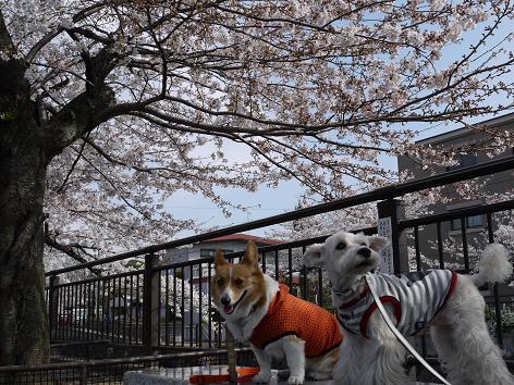 桜の下で4.7