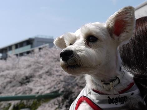 ブーちゃんと桜4.7