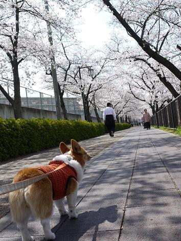 桜並木を歩く4.7