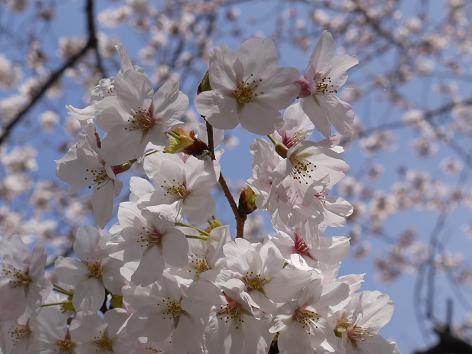 山崎川の桜4.7