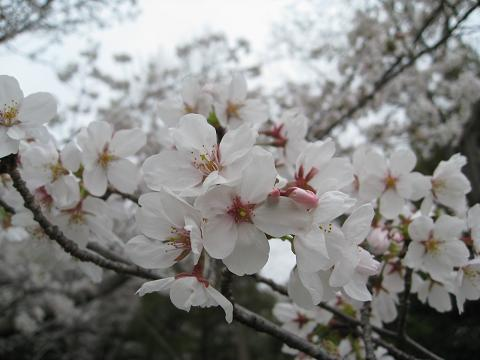 曇りの桜4.8