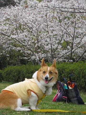 牧野ヶ池の桜とプー4.8
