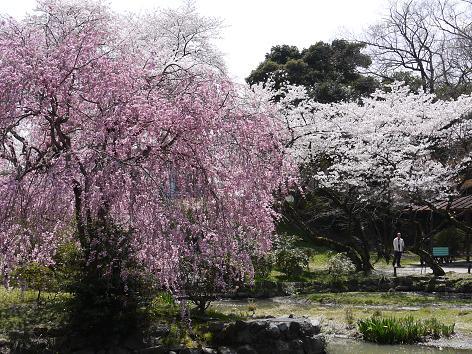 枝垂れ桜にソメイヨシノ4.10
