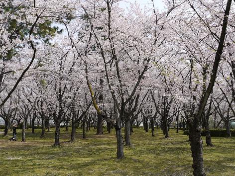 平和公園の桜②4.11