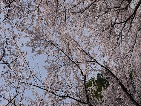 平和公園の桜4.11