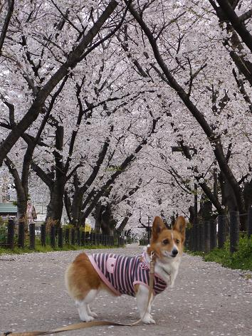 桜並木にて4.10