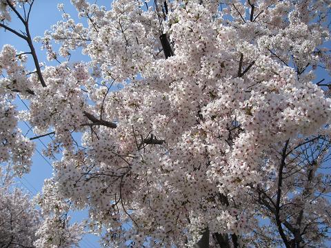 今年の桜も終わりだね4.12
