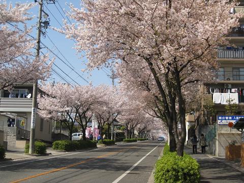 桜並木4.12