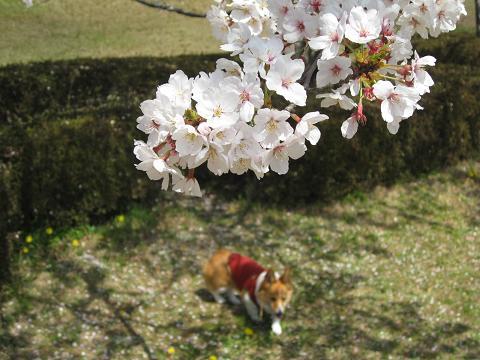 大高の桜4.14