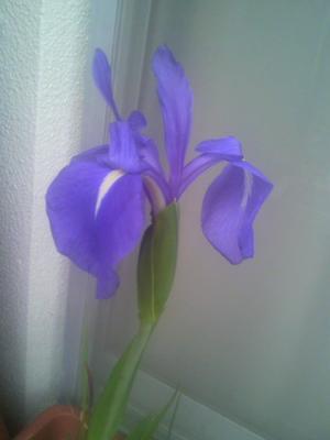 カキツバタ花