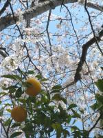 桜とみかん