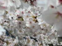 桜アップ3