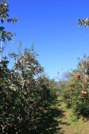 りんご狩り2