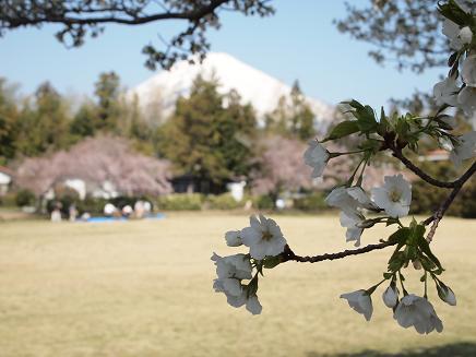 咲き始めた大島桜