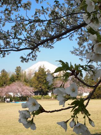 咲き始めた大島桜 4