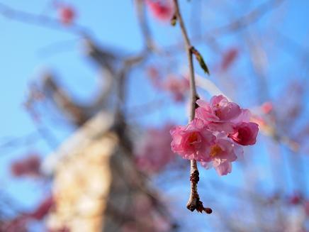 高原の枝垂れ桜