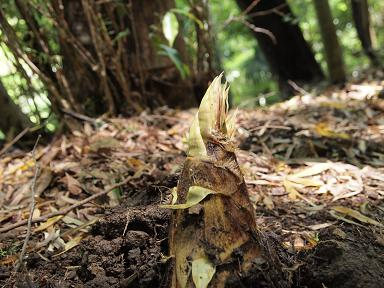 雨後の竹の子
