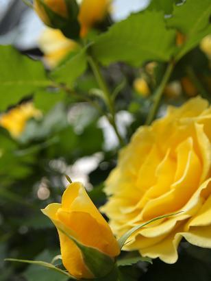 ♪ バ~ラが咲いた ゆず色のバラが~