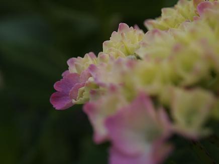 色づきはじめた紫陽花 2