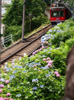 箱根湯本の紫陽花