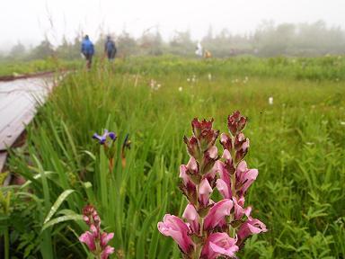 栂池自然園の花々