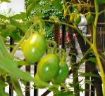 6.9トマト