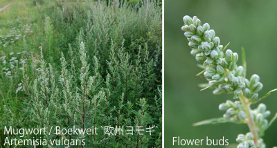 Artemisia vulgaris 002-1 col Bijvoet